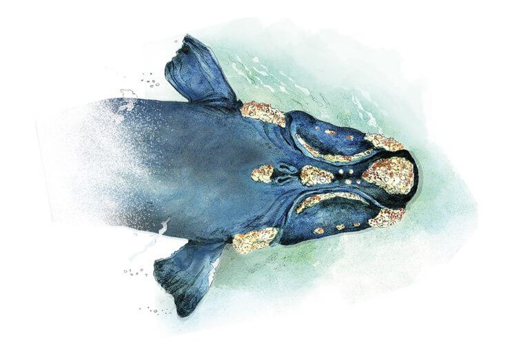 callosidades ballena franca